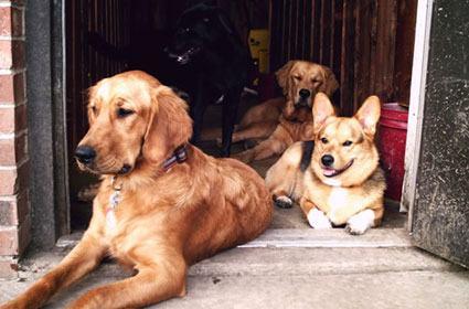 Cães calmos e submissos.