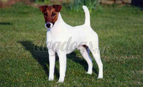 Fotos cachorros fox terrier pelo liso